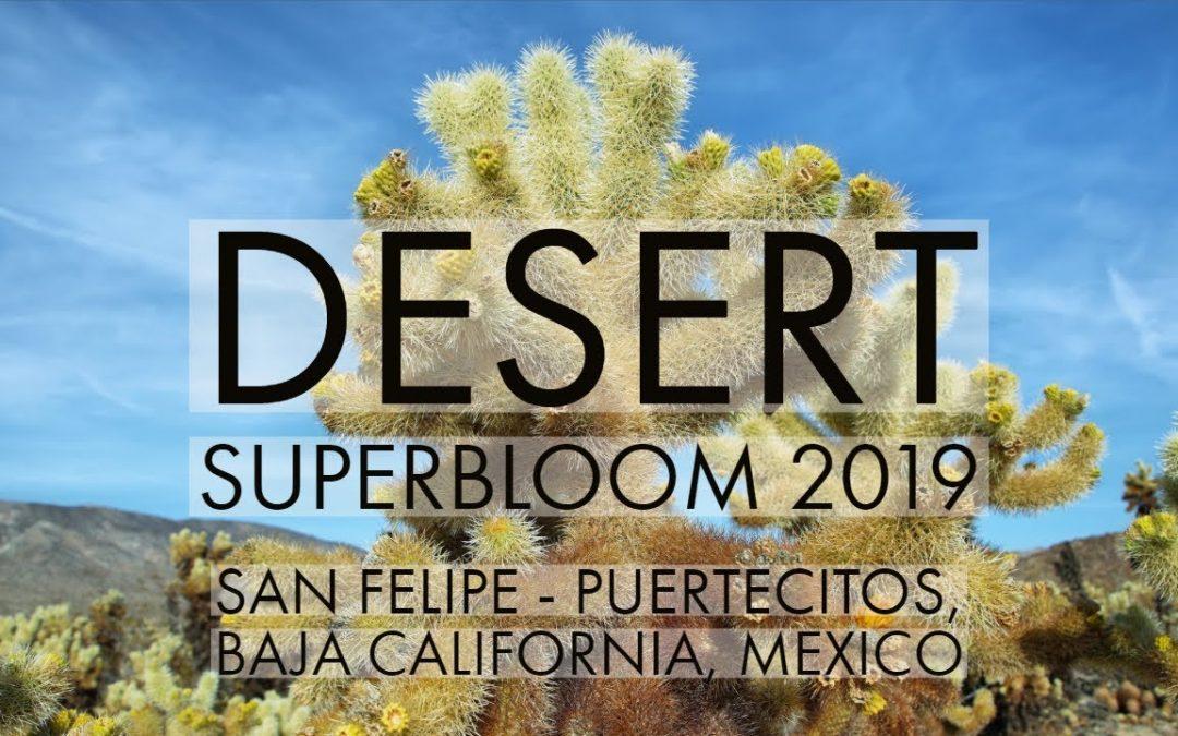 Sonoran Desert Wildflower Superbloom 2019, South Campos, San Felipe – Puertecitos, Baja California